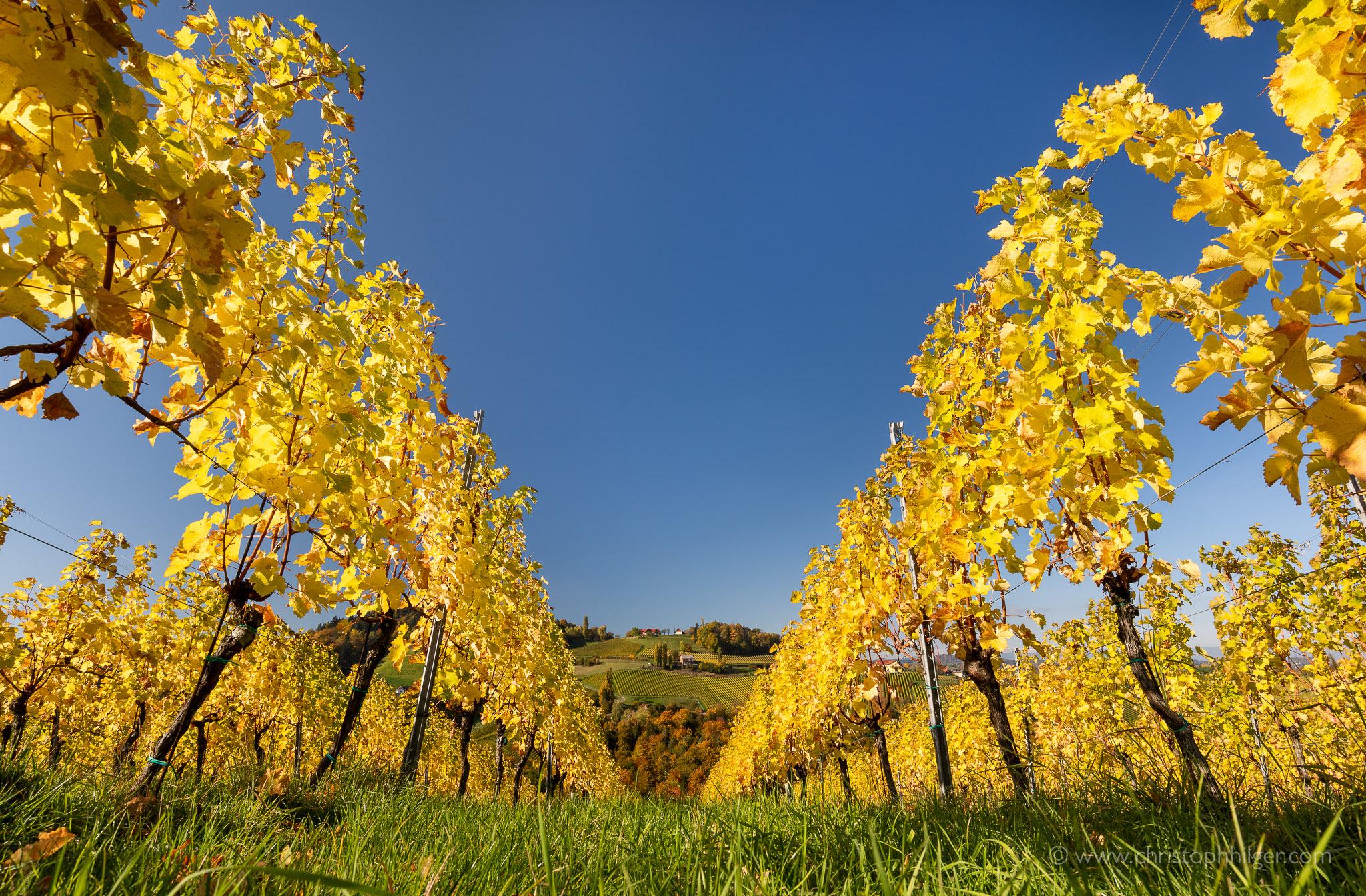 Herbstlicher Weinberg in der Südsteiermark