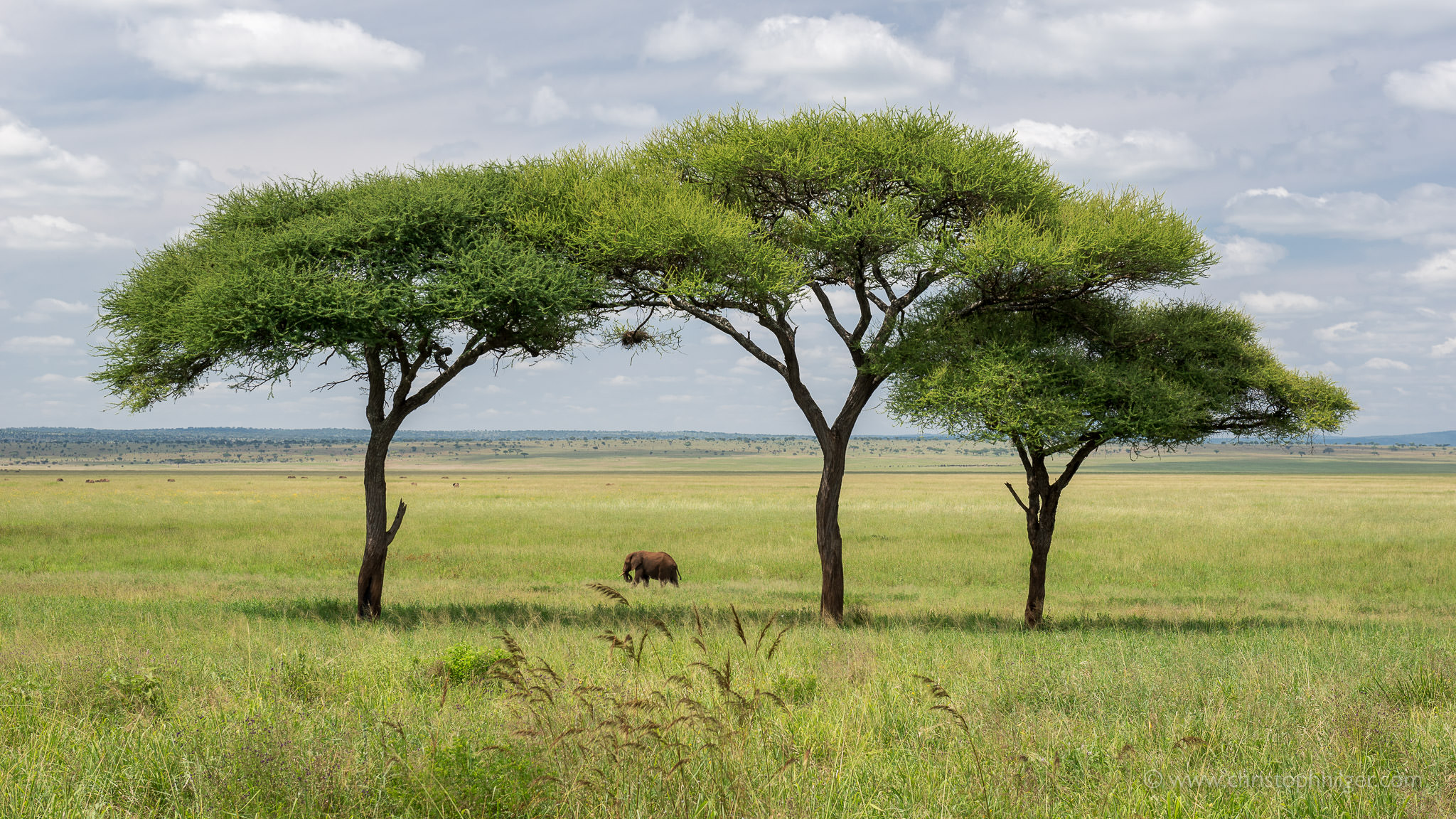 Elefant unter Schirmakazien im Tarangire-Nationalpark, Tansania
