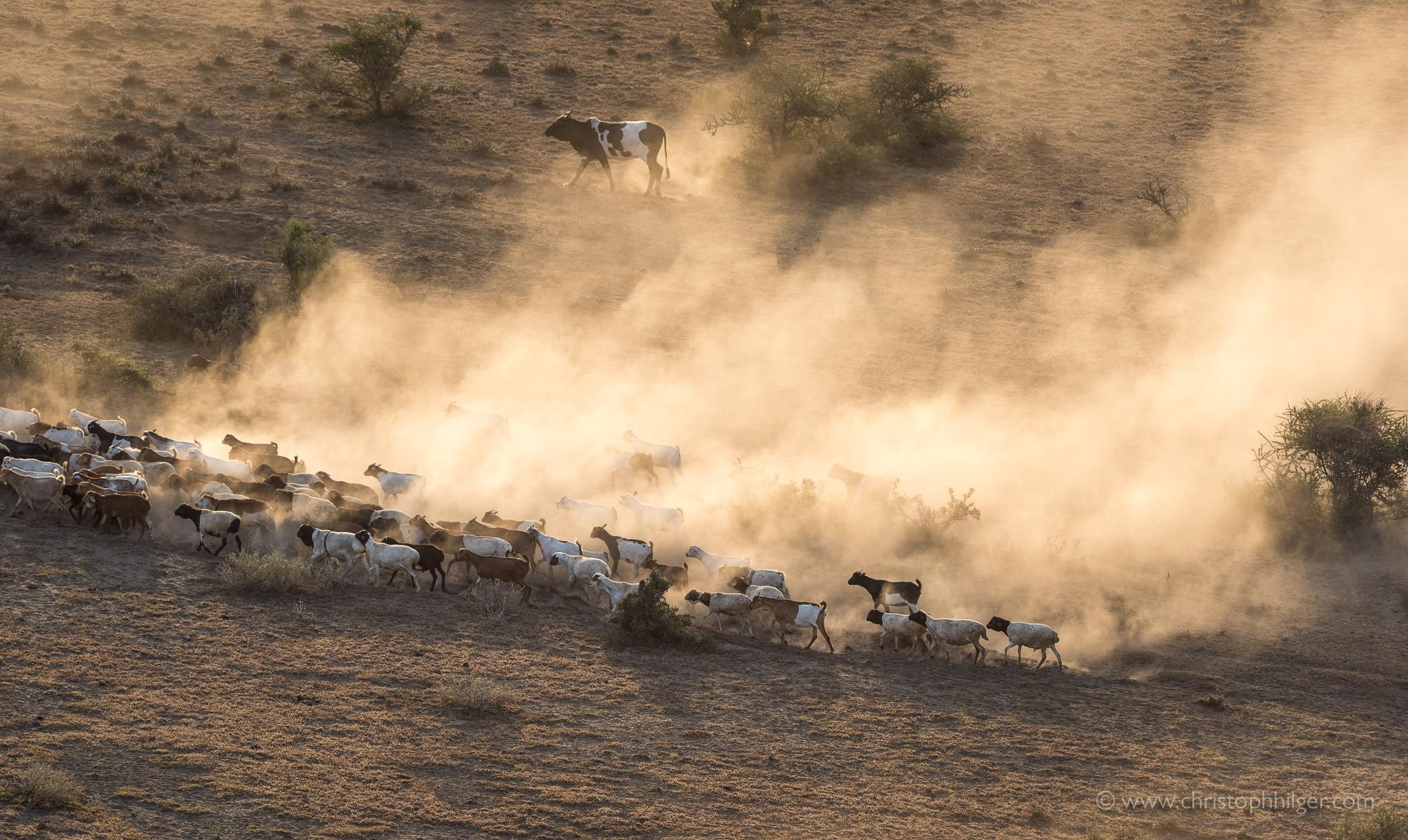 Ziegenherde im Maasai-Land zwischen Klilimanjaro und Mount Meru, Tansania